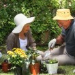 Stock Video: Old mgardening with his wife