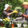 Stock Video: Aged couple gardening together