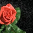 Red rose being watered in super slow motion — Stock Video #22740035