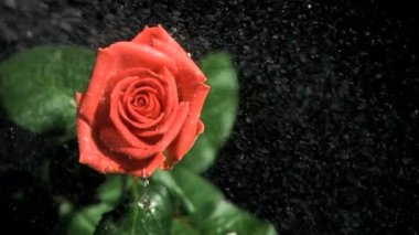 Red rose being watered in super slow motion — Stock Video