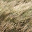 Tall Grass Blowing in the Wind — Stock Video #23634619