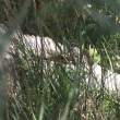 Crocodile hidden in Grass — Stok video