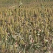 Crops Blowing in the Wind — Stock Video