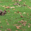 Stock Video: Squirrel in a Park