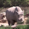 Hippopotamus in the Wild — Stok video