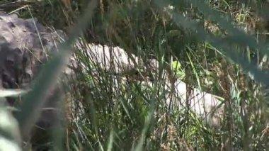 Crocodile hidden in Grass — Stock Video