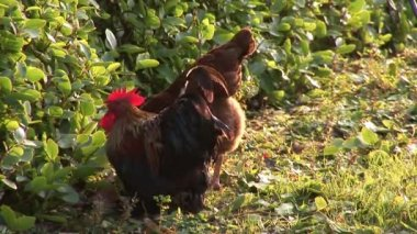 Free - Range Hens on a Farm — Stock Video