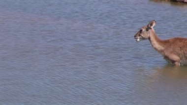 Impala in Water — Stockvideo