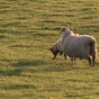 Stock Video: Sheeps in Field