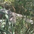 Crocodile hidden in Grass — Stockvideo
