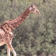 Tall Giraffe — Stock Video