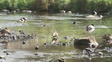 Ducks in a River — Stock Video