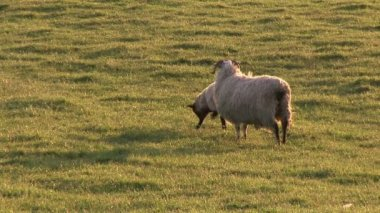 Sheeps in a Field — Stockvideo