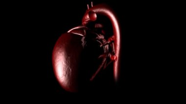 Human heart beating — Vídeo stock