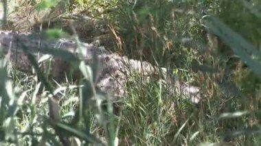 Krokodil gömd i gräset — Stockvideo
