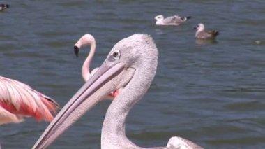Pelikan yakın çekim — Stok video