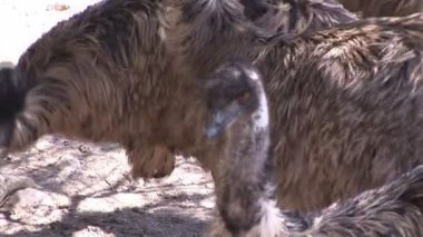 Close-up of Ostrich — Stok video
