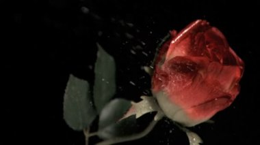 Rose being watered in super slow motion — Stock Video