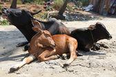 Cows on the beach — Stock Photo