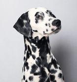 Dalmatian — Foto de Stock