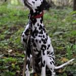 Dalmatian — Stock Photo
