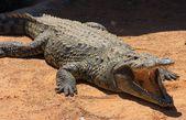Crocodile in the sun — ストック写真