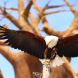 Stock Photo: White-headed eagle