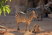 Breeding zebra — Stock Photo