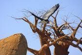 Marabou flying — Stock Photo