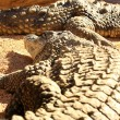 Africa alligator — Stock Photo