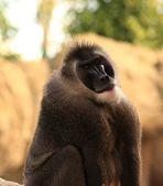 Ape sitting — Stock Photo