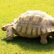 Turtle longeva — Stock Photo