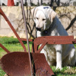 ストック写真: Labrador Retriever