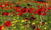 Poppies Bouquet — Stock Photo