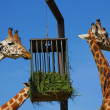 Giraffes dinner — Stock Photo