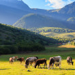 Постер, плакат: Mountain grassland with grazing cows