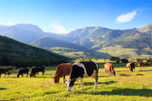 Mountain grassland with grazing cows — Stock Photo