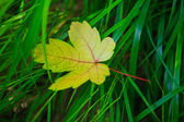 Yellow autumn leave — Stock Photo