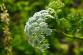 Giant Hogweed growing in a wild — Stock Photo