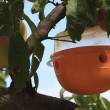 Stock Photo: Insect's trap on peach tree