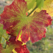 Vine-leaf - Collioure's vineyard - France — Stock Photo