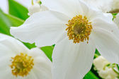 Anemone sylvestris, herbaceous perennial flowering plant. — Stock Photo
