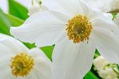 Anemone sylvestris, herbaceous perennial flowering plant. — Stock Photo
