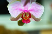 Orchidaceae. — Stock Photo