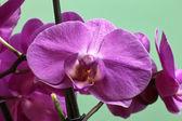 Orchidaceae. — Stock Photo