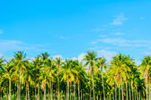 Coconut plantation — 图库照片