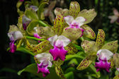 Dendrobium, orchid — Stock Photo