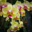Phalaenopsis, orchid — Stock Photo