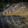Monitor lizard (varanus salvator) — Stock Photo