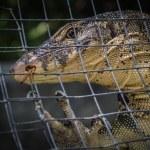 Monitor lizard (varanus salvator) — Stock Photo
